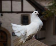 Pigeon blanc élégant de rose des vents se reposant fièrement sur un mur en pierre Photo libre de droits