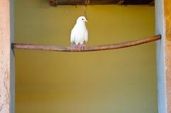 Pigeon blanc Images libres de droits
