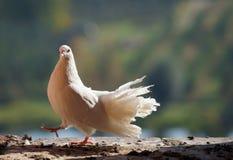 Pigeon blanc Photos libres de droits