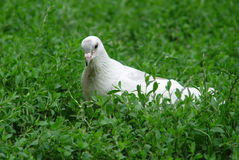 Pigeon blanc Image libre de droits