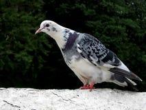 Pigeon blanc bariolé Photo libre de droits
