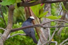 pigeon Blanc-couronné été perché dans l'arbre Images stock