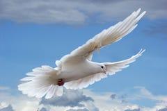 Pigeon blanc dans les cieux