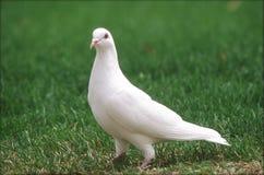 Pigeon blanc sur l'herbe verte Images libres de droits