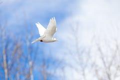 Pigeon blanc volant sur le ciel bleu Images stock