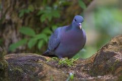Pigeon bleu sur l'arbre Photo libre de droits