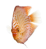 Pigeon Blood Discus (fish) Royalty Free Stock Images