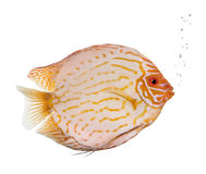 Pigeon Blood Discus fish Stock Photos