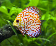 Pigeon Blood Discus Fish Royalty Free Stock Photos