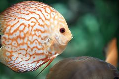 Pigeon Blood Discus fish - Symphysodon aequifasciatus. Pigeon Blood Discus fish, beautiful orange Symphysodon Stock Photo