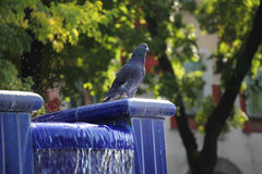 Pigeon in blue fountain Stock Photos