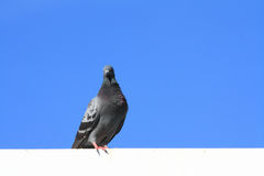Pigeon on blue sky. Pigeon standing with clear blue sky Stock Photography