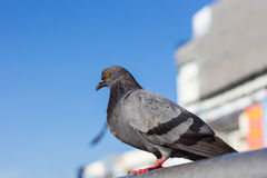 Pigeon. A pigeon on blue sky background Royalty Free Stock Photo