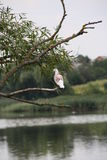 Pigeon on the branch of pussy-willow Royalty Free Stock Images