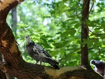 Pigeon on a branch in the summer forest. Beautiful pigeon on a branch in the summer forest stock photography