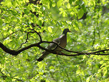 Pigeon on branch of tree Royalty Free Stock Photos