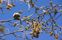 Pigeon in the branches Royalty Free Stock Images