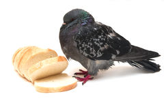 Pigeon and bread slices on white Stock Photography