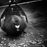 Pigeon breakfast. Artistic look in black and white. Royalty Free Stock Photography