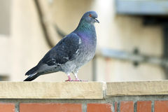 Pigeon on Brick Wall Royalty Free Stock Photo