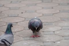 Pigeon brid meet easily according to various places in the city. Pigeon bird used as a messenger, once a long time ago Royalty Free Stock Photography