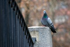 The pigeon on the bridge Stock Image