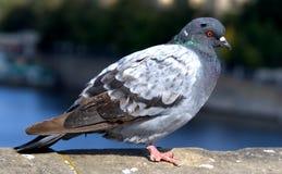 Pigeon on a bridge edge Stock Photography