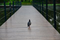 Pigeon. On the bridge in the garden Royalty Free Stock Image