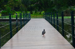 Pigeon. On the bridge in the garden Royalty Free Stock Photo