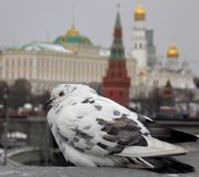 Pigeon. On the bridge with a panoramic view of Moscow behind him Stock Photos