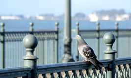 Pigeon on Bridge. Pigeon on a bridge rail looking out on the ocean in San Francisco Royalty Free Stock Image