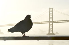 Pigeon Bridge Stock Photos