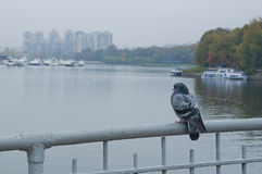 Pigeon on the bridge. Pigeon sitting on the railing of the bridge against the backdrop of water and park Stock Image