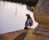 Pigeon on a bridge during the sunlight stock image