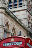 A Pigeon on A British Telephone Box (Portrait) Royalty Free Stock Image