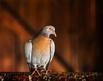 Pigeon in the brn stock photo