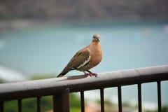 Pigeon bronzage image libre de droits