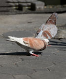Pigeon Brown Royalty Free Stock Images
