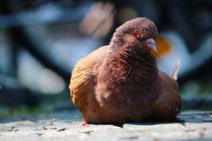 Pigeon brun-rougeâtre se reposant sur le trottoir de pavé rond devant un fond urbain trouble à Berlin Photo libre de droits