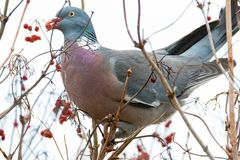 Pigeon in a bush eating a red berry. Pigeon perched on a tree with red berry in beak Royalty Free Stock Photography