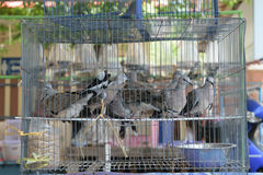 Pigeon in cage Stock Images
