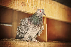 Pigeon at cage Stock Photos