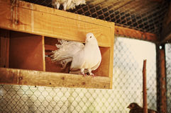 Pigeon at cage Royalty Free Stock Image
