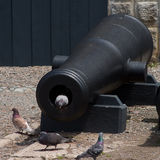 Pigeon in A Canon Barrel Royalty Free Stock Photos
