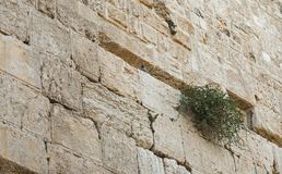 Pigeon and Caper Plant on the Western Wall in Jerusalem royalty free stock image