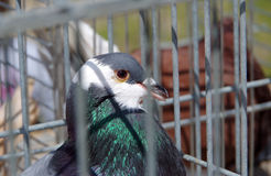 Pigeon in captivity in a cage Stock Photo