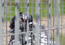 Pigeon in captivity in a cage Stock Photos