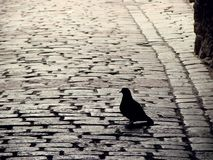 Pigeon in Catherine Passage of Tallinn Old Town Royalty Free Stock Photo