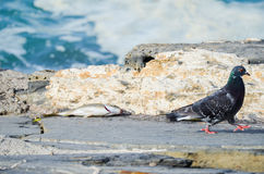 A pigeon and a caught fish on stone quay of Riomaggiore, Cinque Terre, Liguria Region, Italy Royalty Free Stock Images
