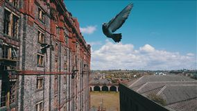Pigeon caught mid air Royalty Free Stock Photo